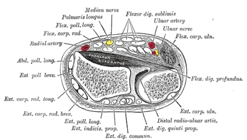 Transverse section across distal ends of radius and ulna. Click to enlarge.