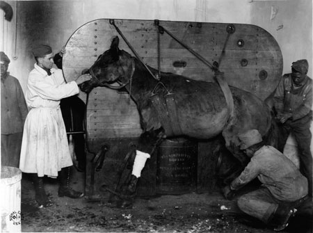 "A horse strapped and being lowered into position to be operated on for a gunshot wound by 1st LT Burgett. Le Valdahon, Doubs, France. 01/28/1919. Veterinary Hospital #3. The lettering under the horse says ""The Simplicity Equine Operating Table."""